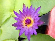 Lotus w Tajlandia Zdjęcia Stock