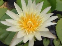 Lotus w Tajlandia zdjęcie royalty free