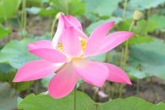 Lotus w Vietnam zdjęcia royalty free
