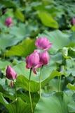 Lotus w wczesnej dojrzałości płciowej Zdjęcie Stock