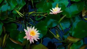 Lotus W wiośnie Zdjęcie Stock