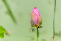 Lotus waiting for opening in a pool Royalty Free Stock Photography