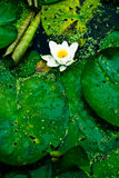 Lotus on water Stock Photos