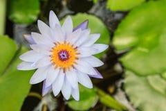 Lotus on water Stock Image