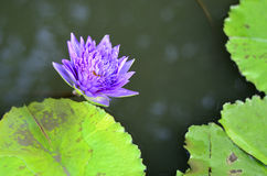Lotus on water. Of garden Stock Photography