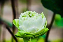 Lotus on water. Lotus graden at lopburi thailand Stock Photography