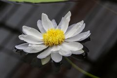 Lotus and water lilly blossom royalty free stock images