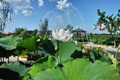 Lotus Water Lily lizenzfreies stockbild