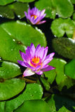 Lotus Water Lily Stockbild
