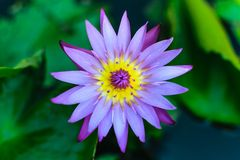 Lotus. Water lily royalty free stock photos