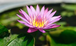 Lotus. Water lily royalty free stock photo