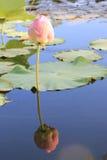 Lotus Water Lily fotografía de archivo