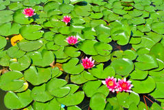 Lotus Water Lily Royaltyfri Foto