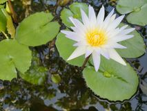Lotus​ water​ lily​ blossom​ beautiful​ tropical​ flower​ plant​ white​ pick​ rose​ color​ stock photo