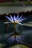 Lotus Water Lily blu Fotografie Stock Libere da Diritti