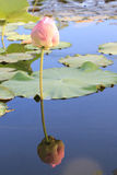 Lotus Water Lily. For conceptual photo Stock Photography