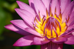 Lotus. Or water lily flower Stock Photo