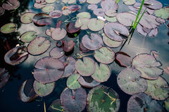 Lotus or Water stock image