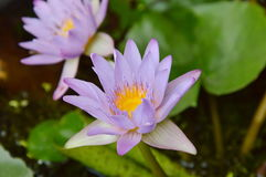 Lotus water lily flower blooming in garden Stock Images