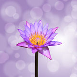 Lotus or water lily flower Royalty Free Stock Photo