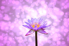 Lotus or water lily flower Stock Images