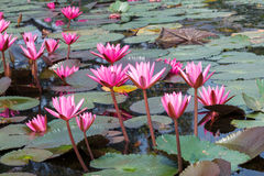 Lotus or water lily flower Royalty Free Stock Images