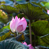 Lotus or water lily flower Stock Photo
