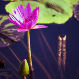 Lotus. Water lily flower. Frame square composition Royalty Free Stock Image
