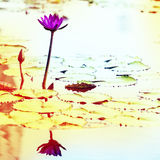 Lotus. Water lily flower Stock Photo