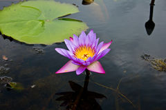 Lotus or water lily flower Royalty Free Stock Photos