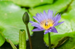 Lotus or Water lily flower Royalty Free Stock Photography