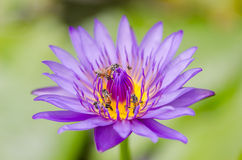 Lotus or Water lily flower Royalty Free Stock Image