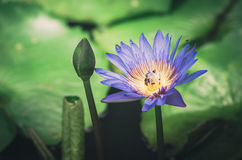 Lotus or Water lily flower vintage Stock Image