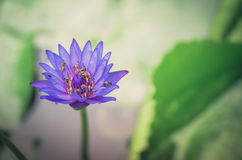 Lotus or Water lily flower vintage Royalty Free Stock Photos