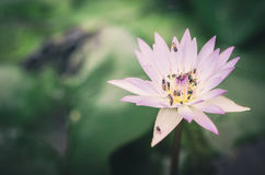 Lotus or Water lily flower vintage Royalty Free Stock Images
