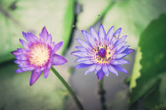 Lotus or Water lily flower vintage Stock Photography