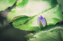 Lotus or Water lily flower vintage Royalty Free Stock Image