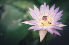 Lotus or Water lily flower vintage Stock Photo