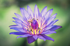 Lotus or Water lily flower vintage Royalty Free Stock Photography