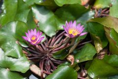 Lotus / water lily flowers stock images