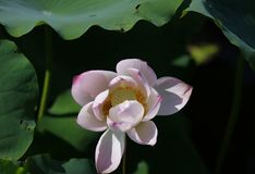Lotus,water lily with full bloom in pink colour in pond Stock Photo