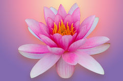 Lotus water lily isolated with clipping path pink and purple Royalty Free Stock Photography