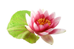 Lotus or water lily isolated Royalty Free Stock Photography