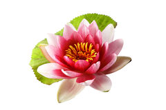 Lotus or water lily isolated Stock Photography