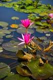 Lotus Water Lily Royalty Free Stock Image