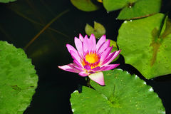 Lotus Water Lily Royalty Free Stock Photography