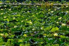 Lotus Water Lily Pad Flowers amarela de florescência bonita e outras estações de tratamento de água fotos de stock