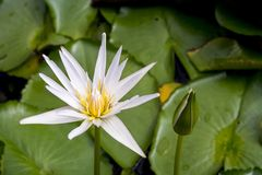Lotus or water lily on pond Royalty Free Stock Photography