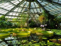 Lotus and water lily in a pond of water greenhouse royalty free stock images