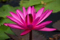 Lotus Water Lily Purple fotos de archivo libres de regalías